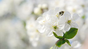 Honey Bee collecting pollen from white pear blossoming flowers. Spring season. 1920x1080 Stock Image