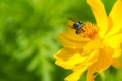 Honey bee collecting pollen on yellow cosmos flower. Honey bee collecting pollen on yellow cosmos flower on nature background Stock Photo