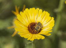Honey bee collecting pollen on a yellow daisy flower Royalty Free Stock Image