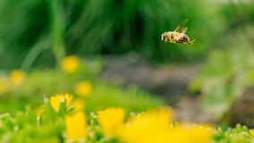 Honey Bee collecting pollen on yellow flower royalty free stock photo