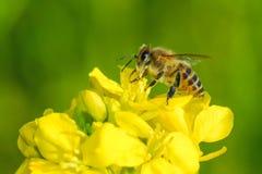 Honey bee Stock Photography
