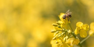 Honeybee collecting nectar on a flower. Honey Bee collecting pollen on yellow flower against blue sky royalty free stock images