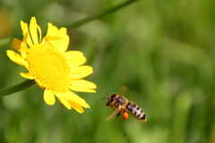 Honey bee. Collecting some pollen Stock Photos