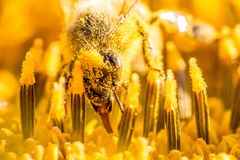 Honey bee collecting yellow summer sun flower nectar with tongue. Animal is sitting collecting in sunny summer sunflower. Important for environment ecology Stock Images