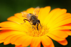 Honey bee. Collects flower nectar royalty free stock photos