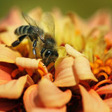 Honey bee. Collects flower nectar royalty free stock images