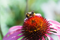 Honey bee collects flower nectar Stock Images