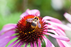 Honey bee collects flower nectar Royalty Free Stock Photos