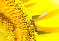 Honey bee collects flower nectar from sunflower Stock Photos