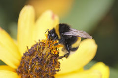 Honey bee collects honey on a flower Stock Image