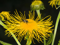Honey bee collects nectar on Telekia Speciosa yellow flower macro, selective focus, shallow DOF Stock Images