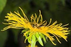 Honey bee collects nectar on Telekia Speciosa yellow flower macro, selective focus, shallow DOF Royalty Free Stock Photos