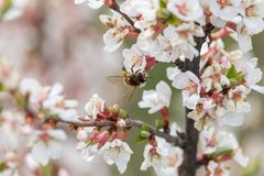 Honey bee collects nectar on white flowers of blossoming apricot royalty free stock photo