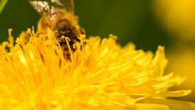 A honey bee collects nectar on a yellow dandelion on a sunny day.