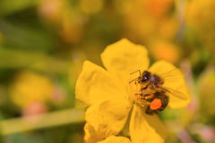 Honey bee collects nectar on a yellow flower Royalty Free Stock Photos