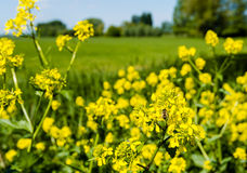 Honey bee collects nectar from yellow flowering rapeseed Royalty Free Stock Image