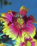 Honey Bee Collects Pollen en una flor combinada Imagen de archivo