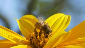 Honey bee collects pollen and flies away. stock video footage