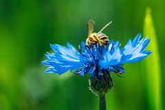 A Honey Bee Collects Pollen And Nectar On A Blue Centaurea Flower royalty free stock image
