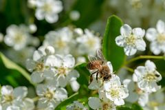 Honey bee collects pollen from pyracantha flowers. Honey bee collects pollen from white pyracantha flowers royalty free stock photography