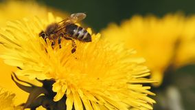 Honey bee collects pollen on a yellow dandelion stock video footage