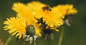 Honey bee collects pollen on a yellow dandelion stock video