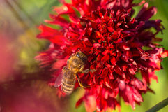Honey bee collects red flower nectar in the garden.  Stock Photo