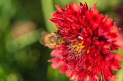Honey bee collects red flower nectar in the garden.  Stock Photos