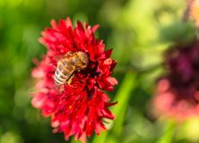 Honey bee collects red flower nectar in the garden.  Royalty Free Stock Photo