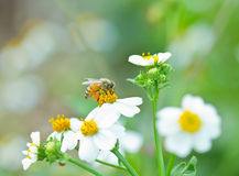 Honey bee collects white flower. Nectar stock images
