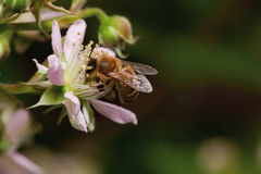 Honey bee collets flower nectar, Stock Images
