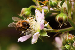 Honey bee collets flower nectar Stock Photo