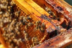Honey Bee in Bee Colony. Animal, animals, apiarist, beautiful, nature, beehive, beekeeper, beemaster, beeyard, europe, natural, sun, sunny, swarm, wild stock photography