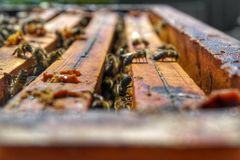 Honey Bee in Bee Colony. Animal, animals, apiarist, beautiful, nature, beehive, beekeeper, beemaster, beeyard, europe, natural, sun, sunny, swarm, wild stock photo
