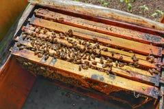 Honey Bee in Bee Colony. Animal, animals, apiarist, beautiful, nature, beehive, beekeeper, beemaster, beeyard, europe, natural, sun, sunny, swarm, wild royalty free stock photo