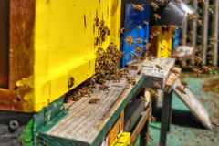 Honey Bee in Bee Colony. Animal, animals, apiarist, beautiful, nature, beehive, beekeeper, beemaster, beeyard, europe, natural, sun, sunny, swarm, wild royalty free stock photography