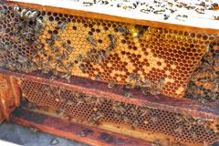 Honey Bee in Bee Colony. Animal, animals, apiarist, beautiful, nature, beehive, beekeeper, beemaster, beeyard, europe, natural, sun, sunny, swarm, wild stock photos