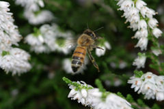 Honey bee coming in for a landing royalty free stock photos