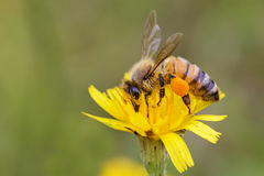 Honey Bee complètement de pollen Photos stock