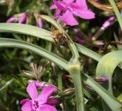 Honey Bee con la probóscide que se pega hacia fuera Imagen de archivo libre de regalías