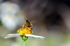 Honey Bee con las cestas llenas del polen Foto de archivo