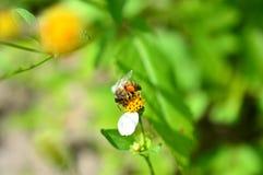 Honey Bee con las cestas llenas del polen Foto de archivo libre de regalías
