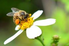 Honey Bee con las cestas llenas del polen Fotografía de archivo libre de regalías