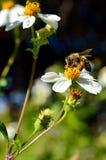 Honey Bee con las cestas llenas del polen Imagen de archivo libre de regalías