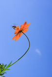 A Honey Bee  and Cosmos Flower against blue sky Royalty Free Stock Photo