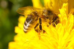 Honey bee covered in pollen. A honey bee harvesting nectar and pollen from a dandelion Stock Photo