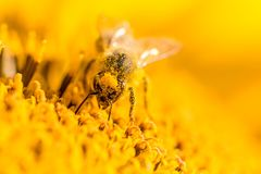 Honey bee covered with yellow pollen collecting nectar in flower. Animal is sitting collecting in sunny summer sunflower. Important for environment ecology Stock Image