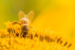 Honey bee covered with yellow pollen collecting nectar in flower. Animal is sitting collecting in sunny summer sunflower. Important for environment ecology Royalty Free Stock Photo