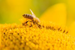 Honey bee covered with yellow pollen collecting nectar in flower. Animal is sitting collecting in sunny summer sunflower. Important for environment ecology Stock Images