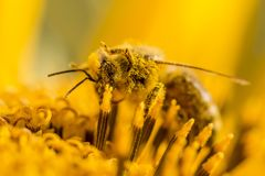 Honey bee covered with yellow pollen and legs in air. The animal is sitting on a flower in summer or autumn time. Many little orange pollen on its body Royalty Free Stock Images